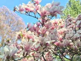 Magnolien drängen sich in den blauen Himmel.